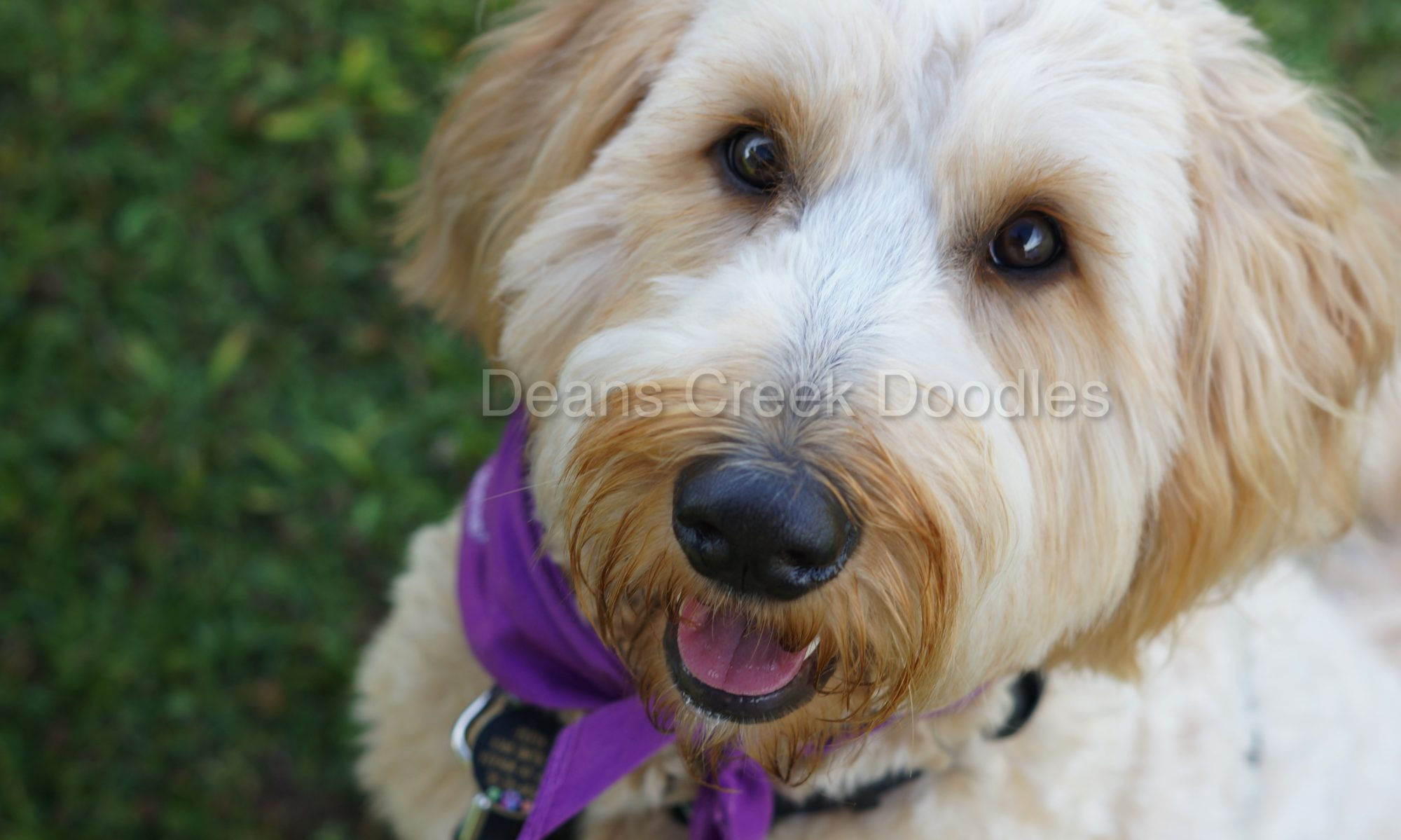 Goldendoodle Puppy Adoption Application - Deans Creek Doodles
